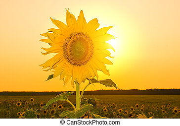 Sunflower in field at sunset