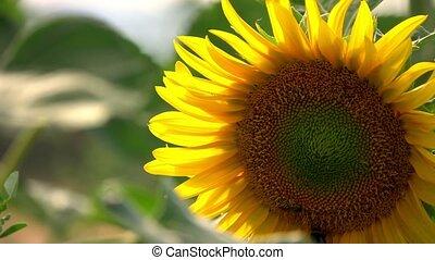 Sunflower in Field in Nature