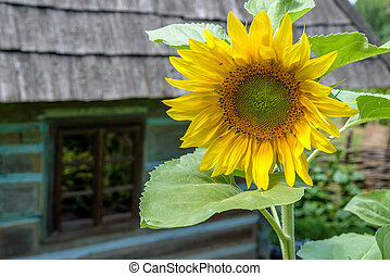 Sunflower in front of cottage