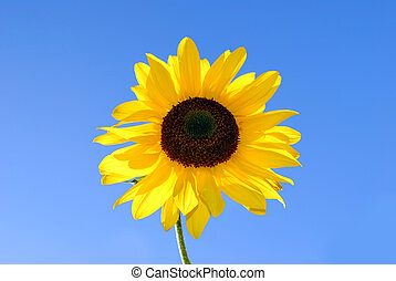 sunflower in front of deep blue sky