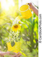 Sunflower in metal bucket