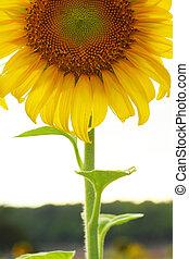 Sunflower in nature