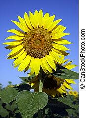 Sunflower in sunflower field with blue sky