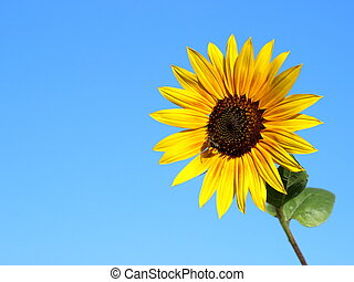 Sunflower in the blue sky with a bee
