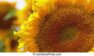 Sunflower in the Field and Bee Crawling on it. Close-up....