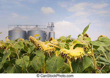Sunflower in the field ready for harvest.