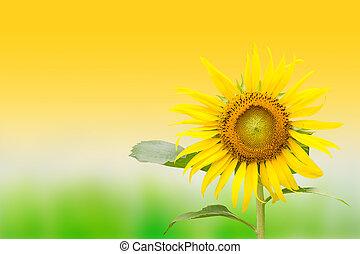 sunflower in the garden background