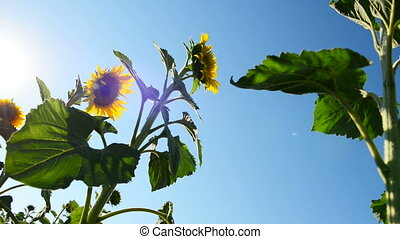 sunflower in the light of a sun