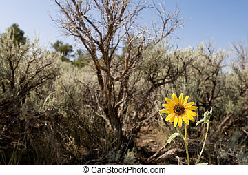 Sunflower in the New Mexico desert - probably Helianthus ...