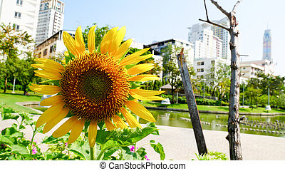 sunflower in the park with sunshine day