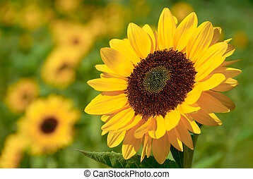 Sunflower in the warm sunlight - Fully blossomed sunflower...