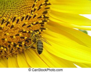 sunflower., inflorescence, abeja