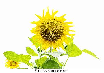 Sunflower Islolated On White Backgr
