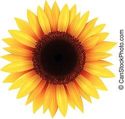 Sunflower isolated, illustration.