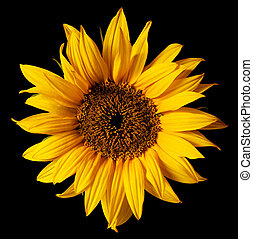 sunflower isolated on a pure black background