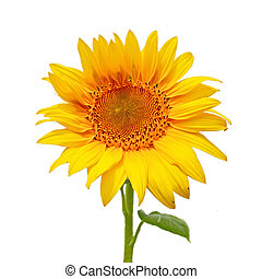 Sunflower, isolated on a white background