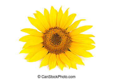 sunflower isolated on white background close-up