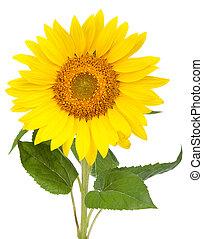 Sunflower. Isolated on white background