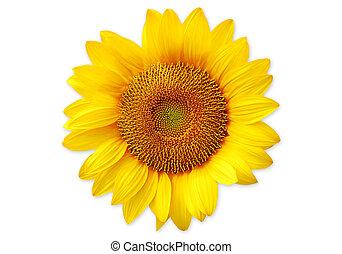 Sunflower isolated on white background.