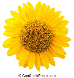 Sunflower isolated  on white background,with clipping path.