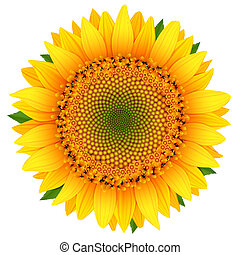 Sunflower isolated on white vector illustration