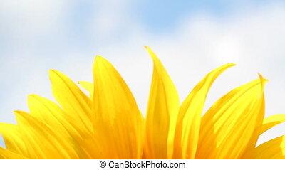 sunflower leaf nature background