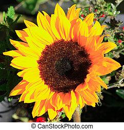 Sunflower lit by the sun