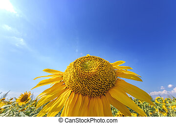 sunflower looking at the sky