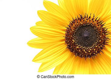 sunflower macro shot over white