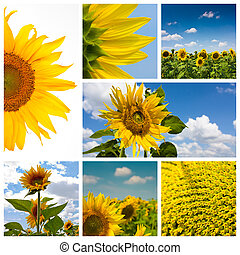 Sunflower montage
