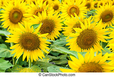Sunflower natural background
