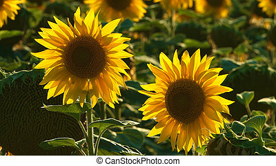 Sunflower natural background Sunflower blooming