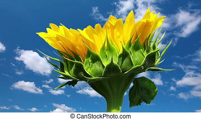 sunflower on a background cloudy sky