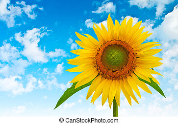 sunflower on a background of blue cloudy sky