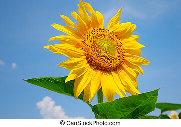 sunflower on a background of blue sky