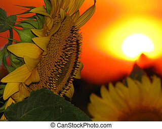 sunflower on a background of red sunset