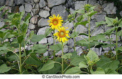 Sunflower on a background of stone wall