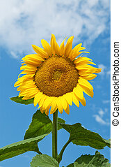 sunflower on a background the sky