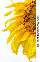 Sunflower on a field against sky. Shallow depth of field