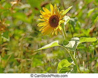 sunflower on a green blurred background
