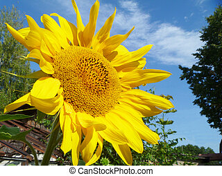 Sunflower on background blue sky