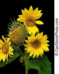 sunflower on black background close-up