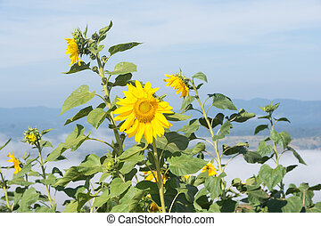 sunflower on blue sky
