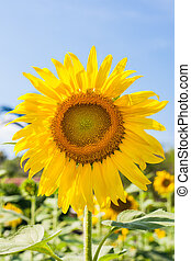 sunflower on field and blue sky