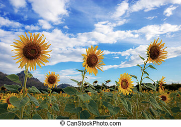 Sunflower on field with blue sky.