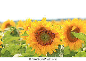 sunflower on the blue sky background