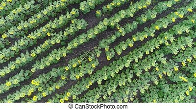 Sunflower on the field, Aerial view, Along the rows, flight, view from above, a lot of plants, movement