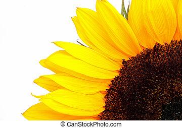 sunflower on the white