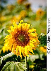 sunflower on wild field closeup
