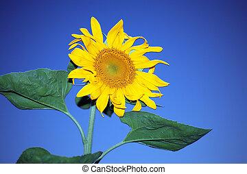 Sunflower over blue sky